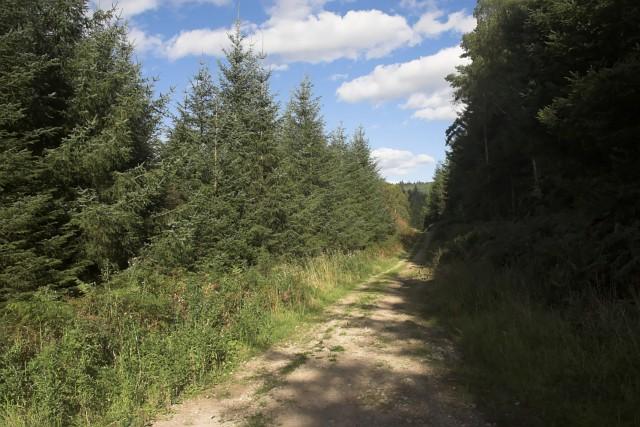 Sitka Spruce in Cropton Forest