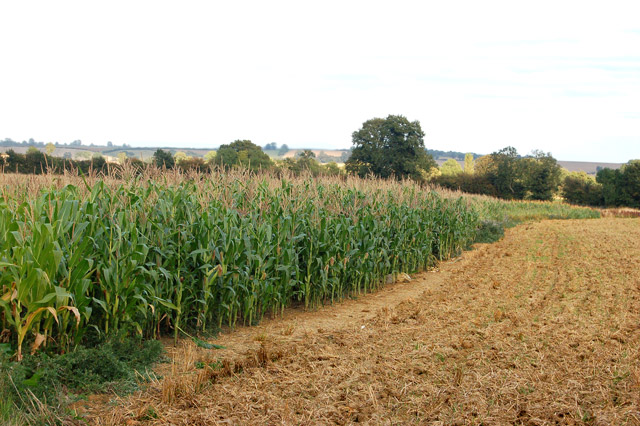 Maize crop southeast of Flecknoe