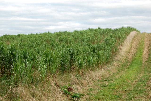 Biomass crop west of Staverton