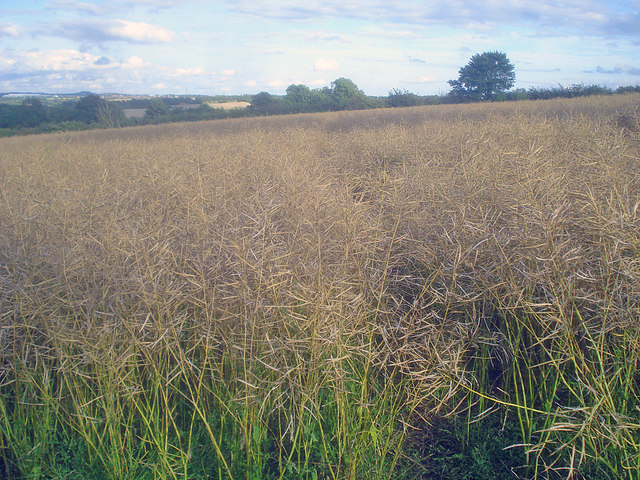 Rape field near Ravenstone Road