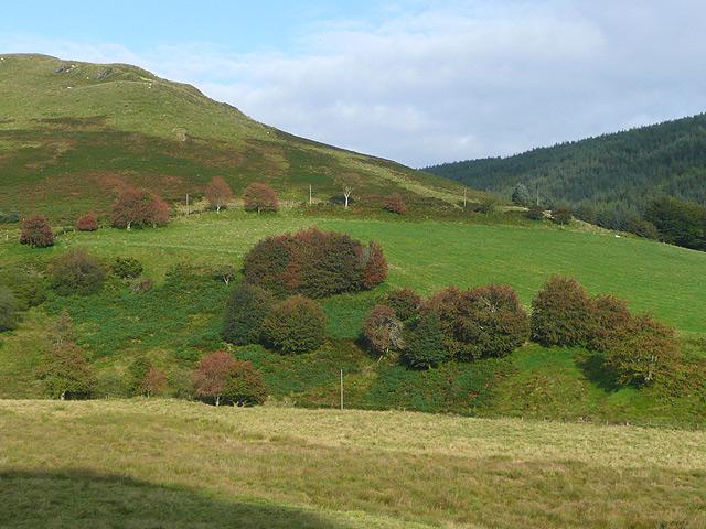 Hillside with rowans, Cwm Tywi, Powys