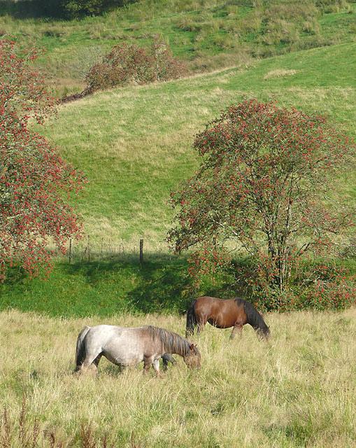 Grazing by the Afon Tywi, Dolgoch, Ceredigion