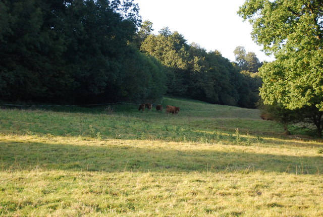 Cattle by the Greensand   Way