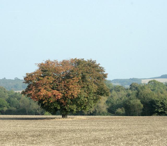 2009 : Horse chestnut tree near Codrington