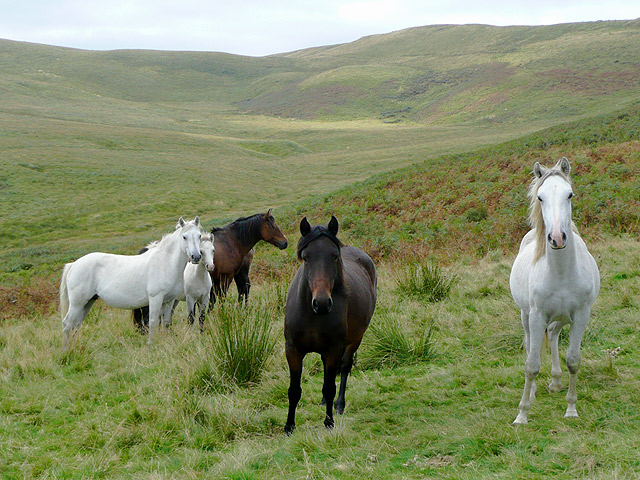 Horses grazing in Cwm Gronwen, Ceredigion