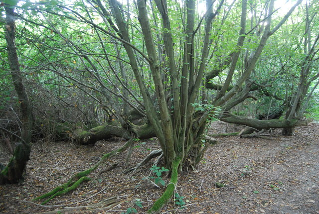 Coppiced tree, Toy's Hill