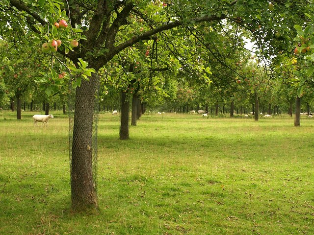 Orchard near Lopen