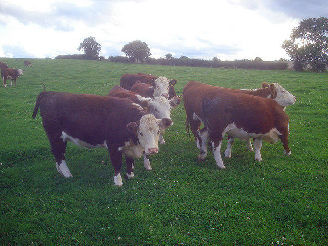 Pedigree Herefords at Manor Farm