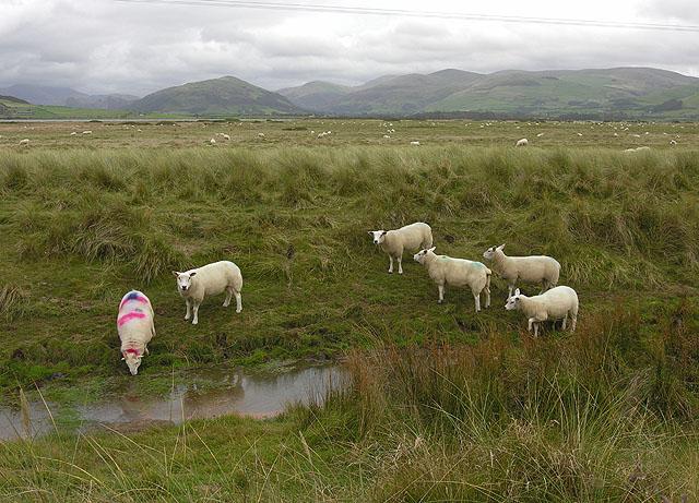 Sheep on Morfa Gwyllt