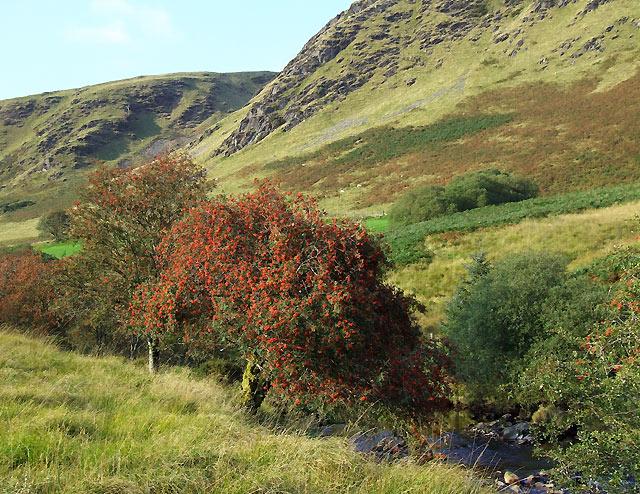 Rowan trees by the Afon Tywi, Ceredigion