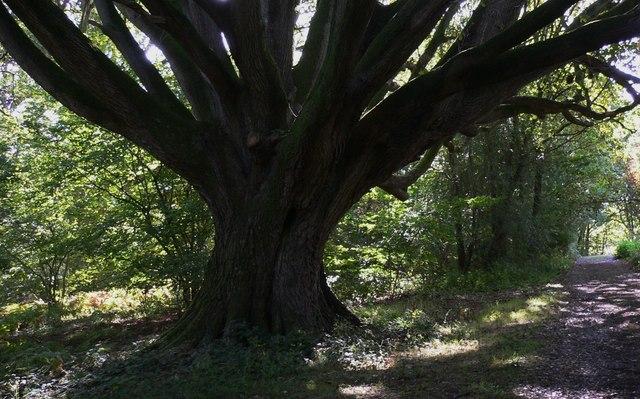 Large tree on Lambourne Lane at Titty Hill