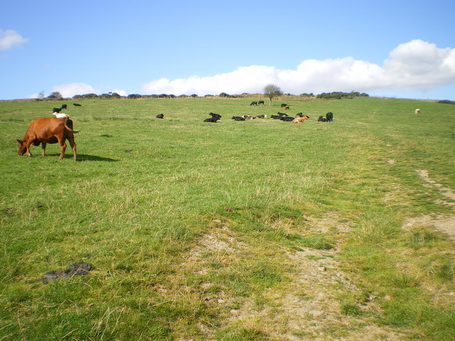 Cattle & bridleway in fields above The Hollies farm