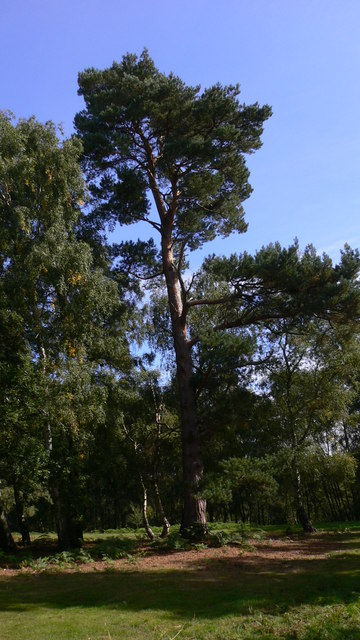 Tall pine at Tentworth