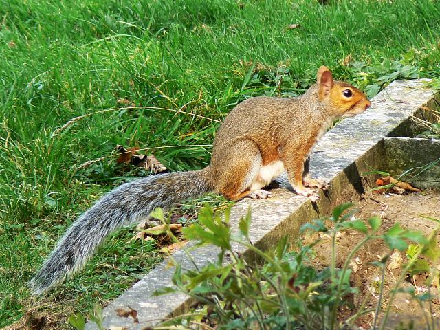 Grey squirrel, Radnor Street cemetery, Swindon