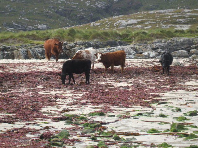 Cows on the beach at Halaman Bay
