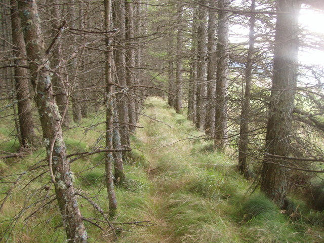 Sort of path through larch trees