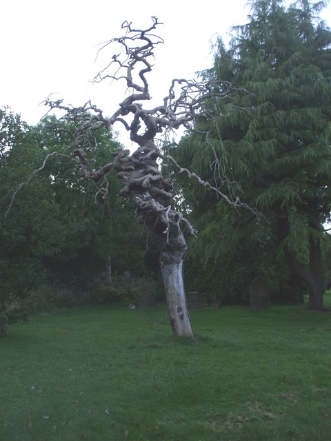 Grotesque tree in Whitehaven Cemetery