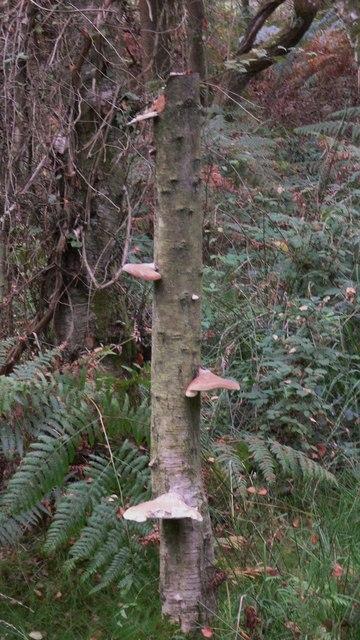 Fungus on dead tree on Stedham Marsh