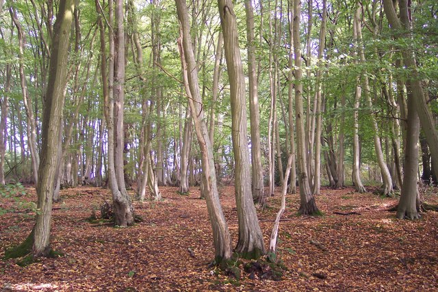 Trees in Little Cranbrook Wood