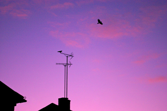 Crows at Dusk, London N14