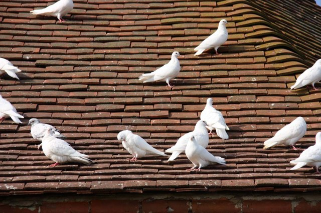 Doves on dovecot roof, Felbrigg Hall