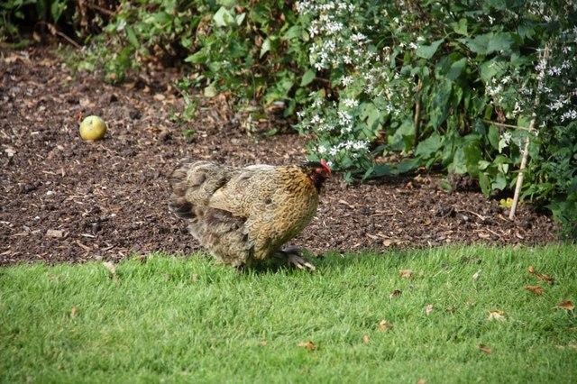 Hen in walled garden, Felbrigg Hall