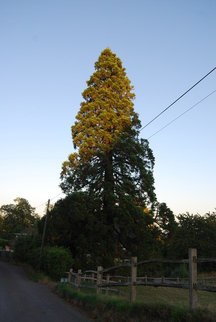 Giant Redwood tree, Froghole Lane