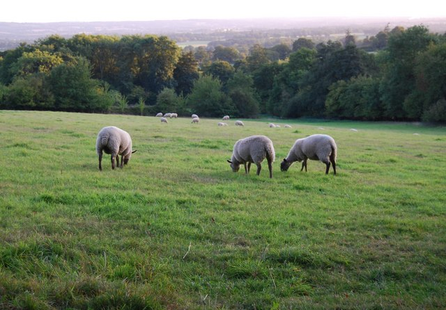 Sheep by the footpath to Crockham Hill