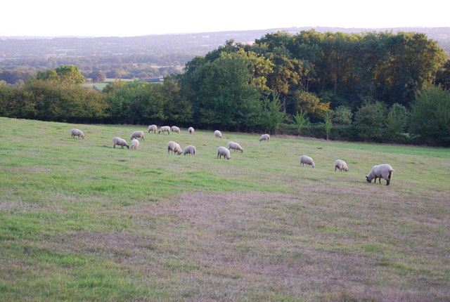 Sheep by the footpath
