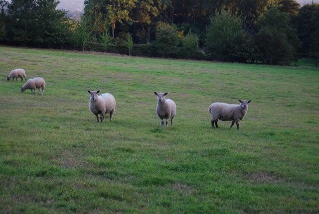 Three sheep near Crockham Hill