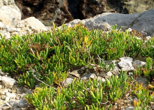 Rock Samphire (Crithmum maritimum) - Winspit