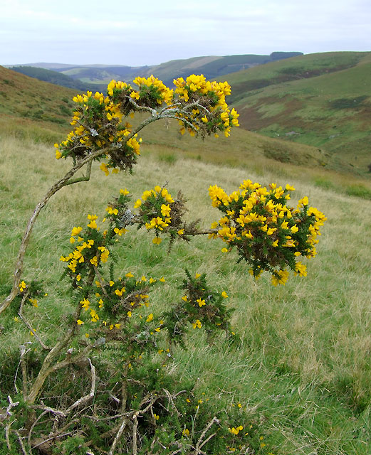 Gorse bush on the way to Abergwesyn, Powys