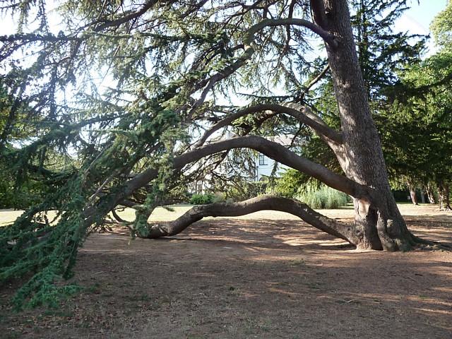 Cedar Tree in Norbury Park, Craignish Avenue (1)