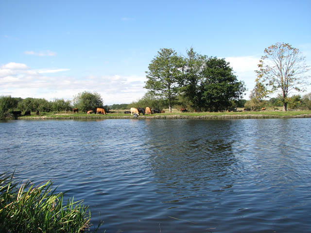 Cattle grazing by the River Yare