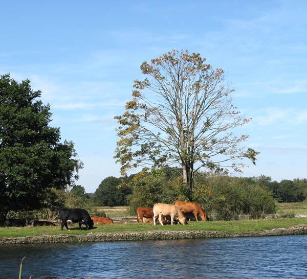 Cattle in Postwick Marsh