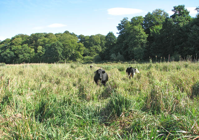 Cattle by the River Yare
