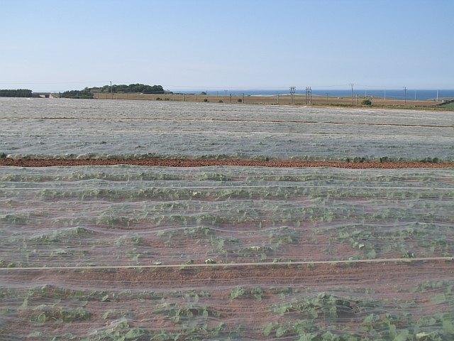 Crops under netting