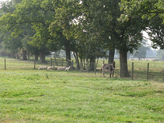 Donkey and sheep in field near Chates Farm