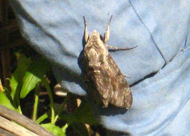 Convolvulus Hawkmoth (Agrius convolvuli)