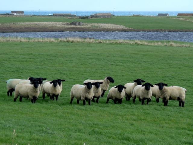"""Say cheese"":  sheep near Loch Sarclet."