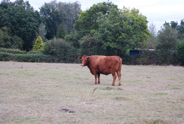 Bull by the path north of Powder Mills Lane