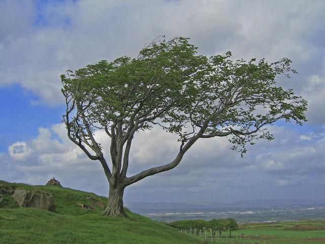 Wind Swept Tree, Fereneze Hills