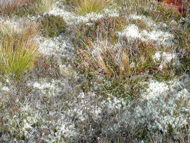 Lichen-covered heath at Yarrows.