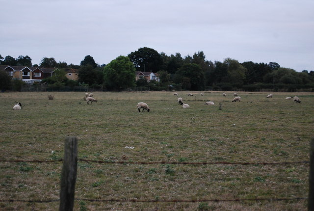 Sheep grazing near Hilden Park