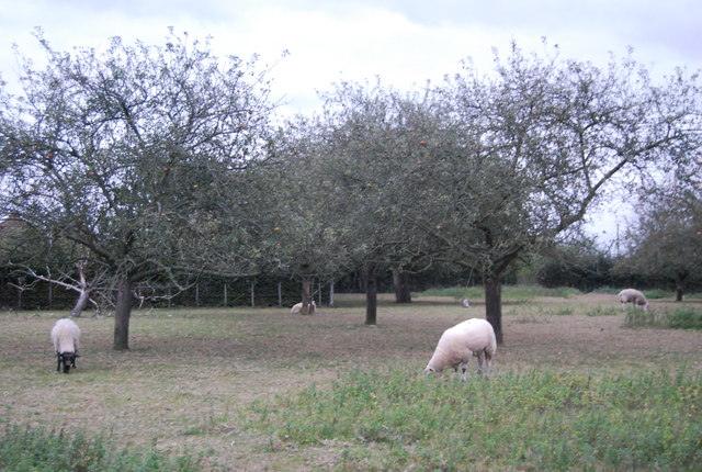 Sheep grazing in an orchard, Hawden Farm