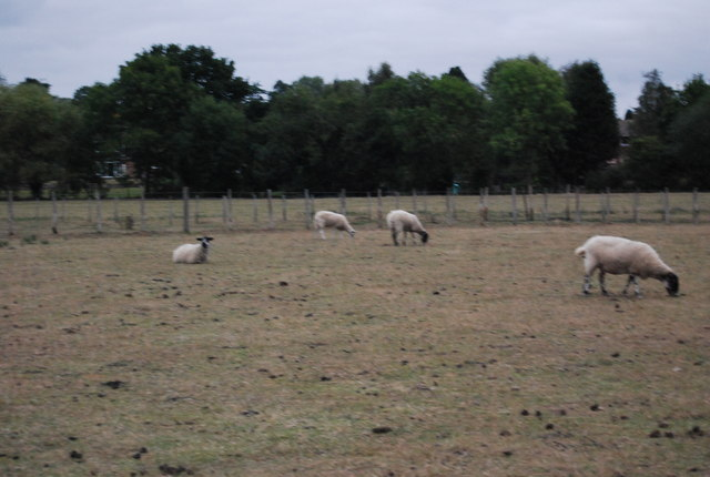Sheep grazing near Hawden Farm