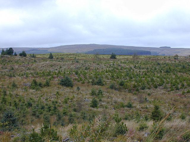 Replanted forestry on Llechwedd y Glyn