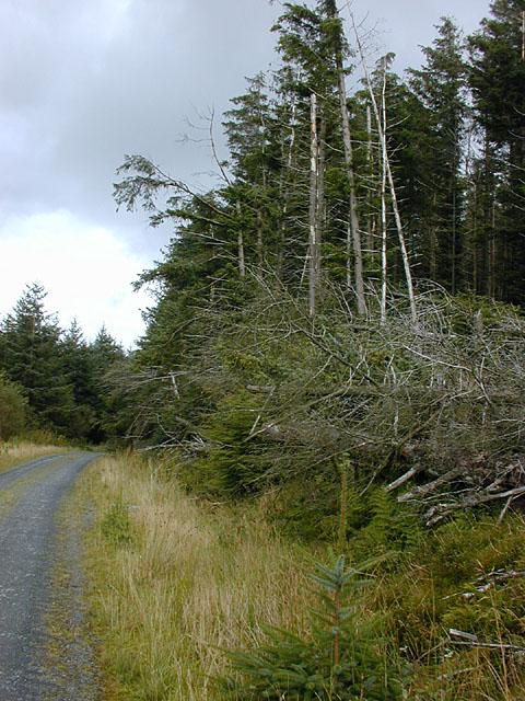 Forestry windfell on Mynydd y Groes
