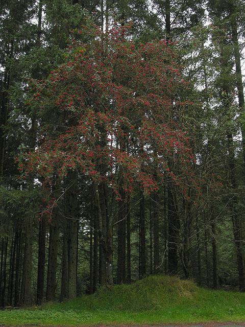 Rowan tree in forestry