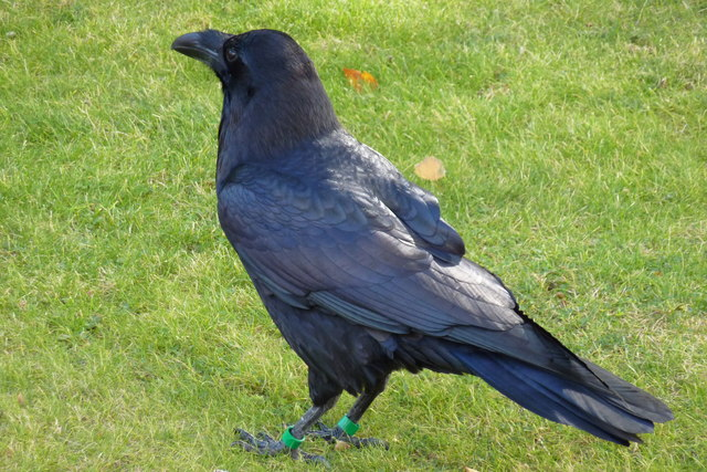One of the ravens at the Tower of London